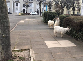 Wild Goats Eating Hedges
