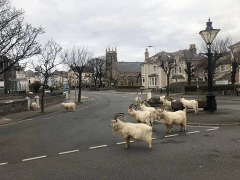 Goats in Trinity Square
