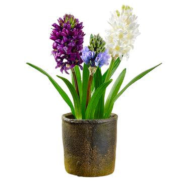 "16"" Hyacinth in Clay Pot"