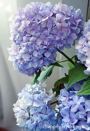 Happily Hydrangea - Pink Picasso