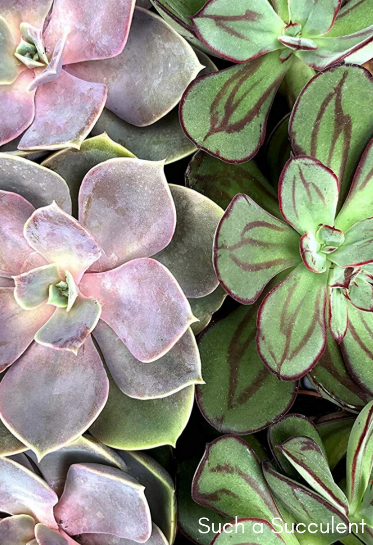 Such a Succulent - Pink Picasso