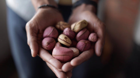 A hand full of kolanuts