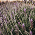 products/lavender_for_skin.png