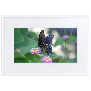 Black Swallowtail (Framed Poster With Mat)