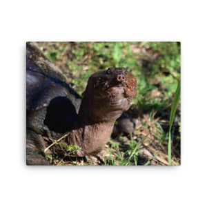 Sweetie the softshell turtle (Canvas)