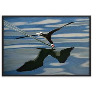 Black Skimmer (Framed Poster)