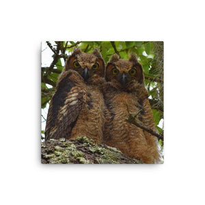 The Twins - Baby Great Horned Owls (Canvas)