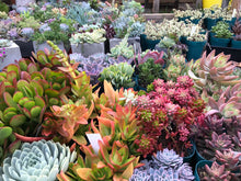 Load image into Gallery viewer, Monthly Succulent Subscription