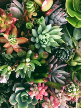 Load image into Gallery viewer, 10, 20, 30 & 40 PACK OPTIONS OF SUCCULENT CUTTINGS!