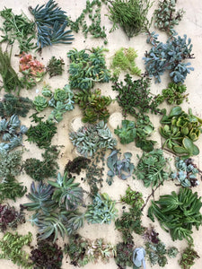 10, 20, 30 & 40 PACK OPTIONS OF SUCCULENT CUTTINGS!