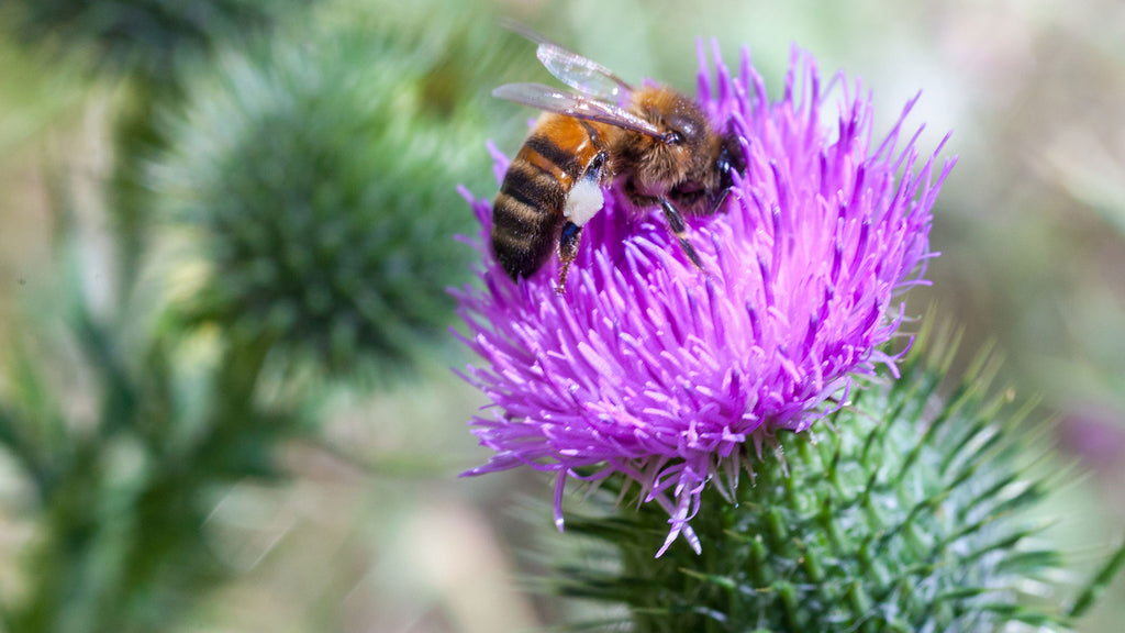 Wild thistle honey