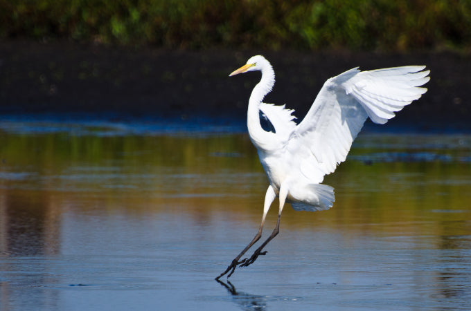 Thoughts on Faith and Egrets