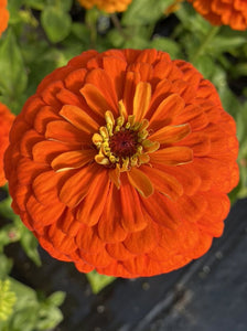 ZINNIA, BENARY'S GIANT ORANGE