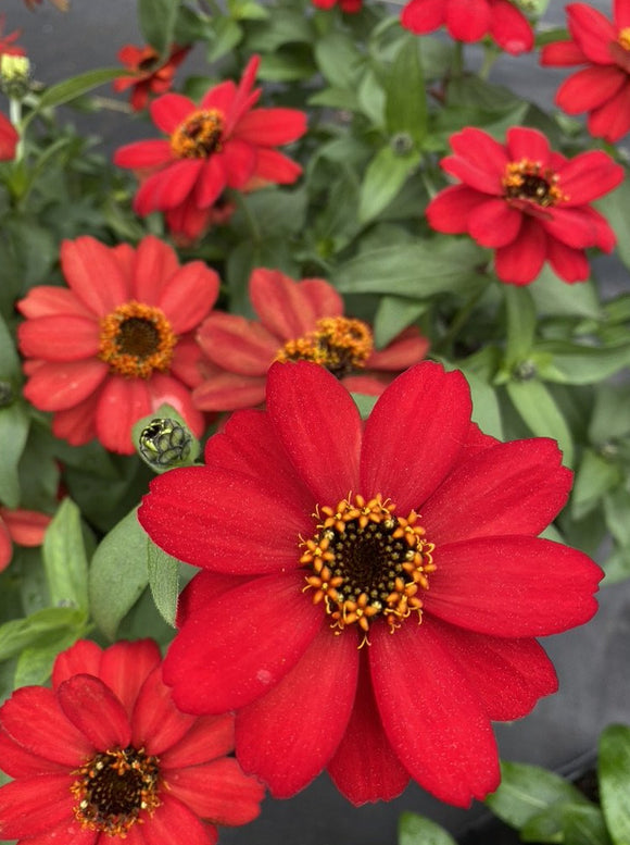 ZINNIA, PROFUSION RED