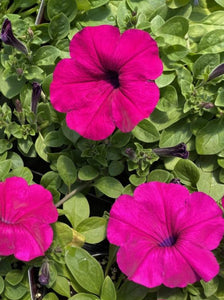 PETUNIA, WAVE PURPLE
