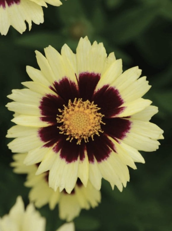 COREOPSIS, UPTICK CREAM AND RED (TICKSEED)