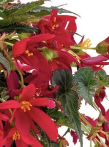 BEGONIA, BEAUVILLA RED