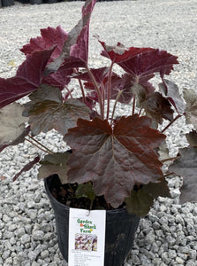 HEUCHERA, PALACE PURPLE (CORAL BELLS)