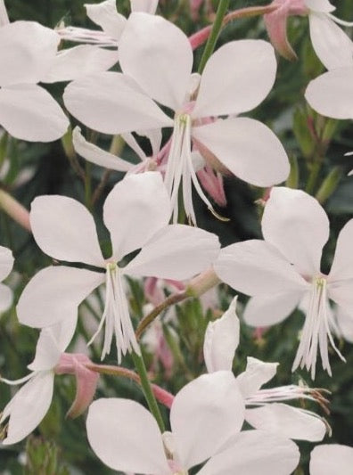GAURA, WHIRLING BUTTERFLIES (WAND FLOWER)
