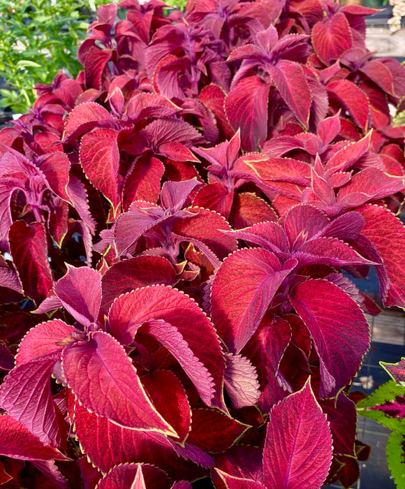 COLEUS, WIZARD VELVET RED