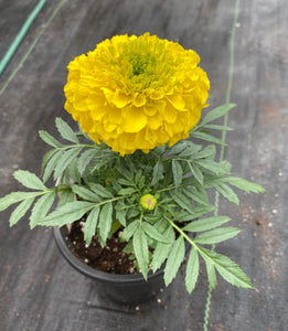 MARIGOLD, ANTIGUA YELLOW