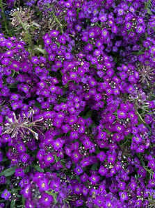 ALYSSUM, WONDERLAND PURPLE