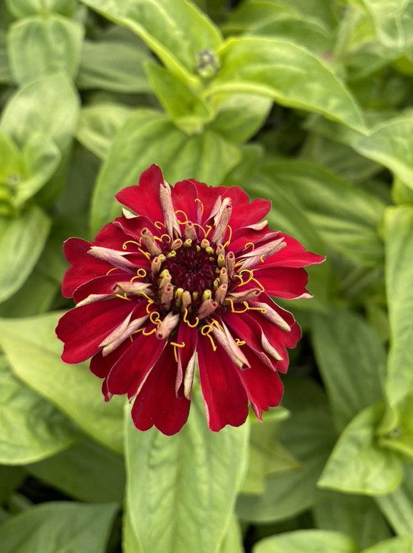 ZINNIA, BENARY'S GIANT DEEP RED