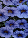 CALIBRACHOA, MINIFAMOUS NEO LIGHT BLUE