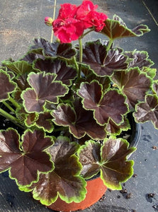 GERANIUM, BROCADE CHERRY NIGHT