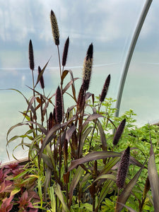 ORNAMENTAL MILLET, PURPLE MAJESTY