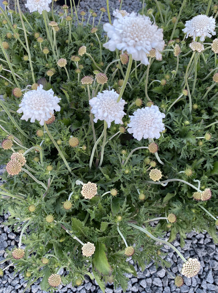 SCABIOSA, PURE WHITE (PINCUSHION FLOWER)