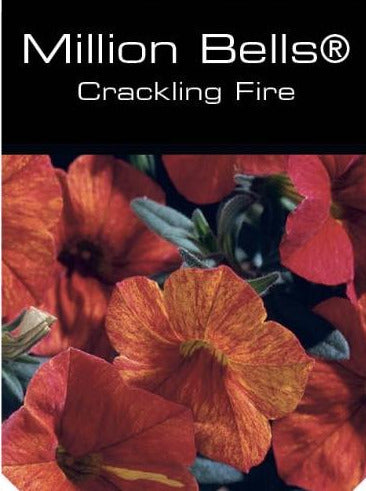 CALIBRACHOA, MILLION BELLS CRACKLING FIRE