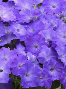 PETUNIA, EASY WAVE LAVENDER SKY BLUE