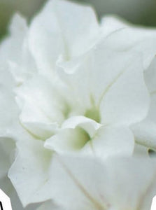 PETUNIA, SURFINIA SUMMER DOUBLE WHITE