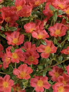 PORTULACA, PAZZAZ ORANGE FLARE (PURSLANE)