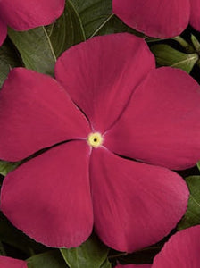 VINCA, PACIFICA REALLY RED