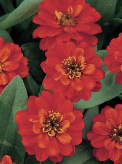 ZINNIA, PROFUSION DOUBLE FIRE
