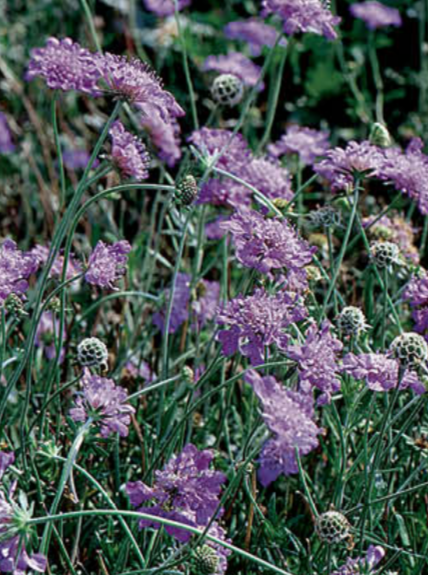 SCABIOSA, BUTTERFLY BLUE (PINCUSHION FLOWER)