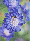 SCABIOSA, FAMA DEEP BLUE (PINCUSHION FLOWER)