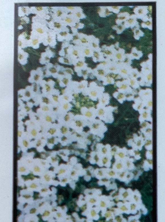 ALYSSUM, WONDERLAND WHITE