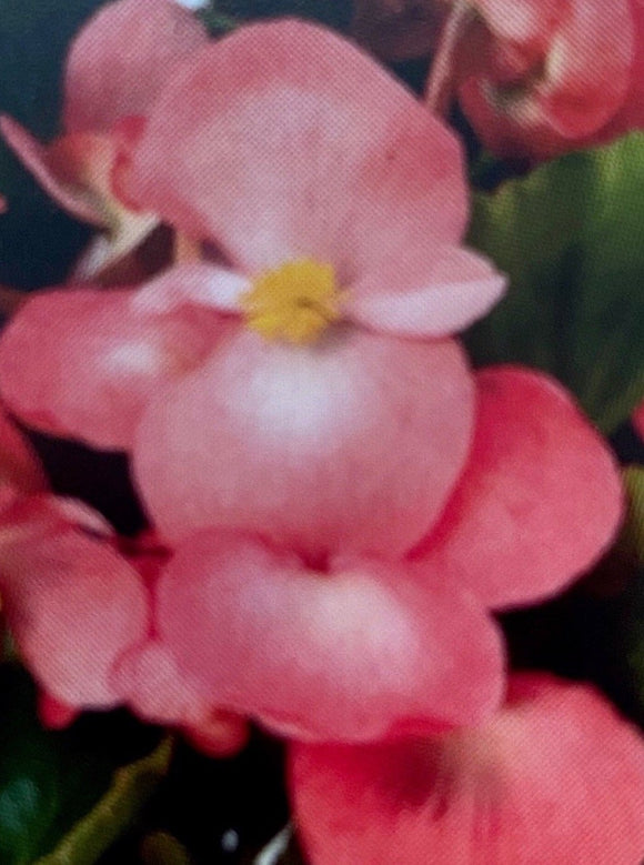 BEGONIA, BIG PINK GREEN LEAF