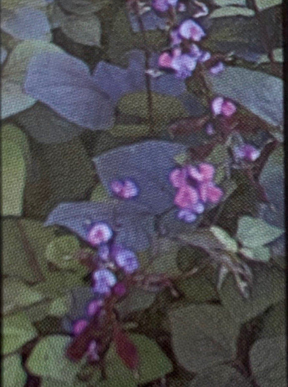 HYACINTH BEAN, RUBY MOON (LABLAB)