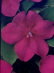 IMPATIENS, BEACON VIOLET SHADES