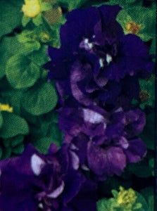PETUNIA, DOUBLE CASCADE BLUE
