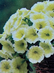 PETUNIA, EASY WAVE YELLOW