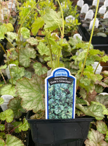 HEUCHERA, DALE'S SELECTION (CORAL BELLS)