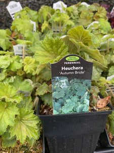 HEUCHERA, AUTUMN BRIDE (CORAL BELLS)
