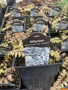 ATHYRIUM, PICTUM (JAPANESE PAINTED FERN)