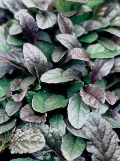 AJUGA, BRONZE BEAUTY (BUGLEWEED)
