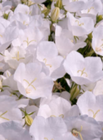 CAMPANULA, RAPIDO WHITE (BELLFLOWER)